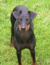 Manchester Terrier toy dog on aggressive look