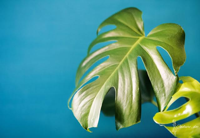 roślina, monstera, liść