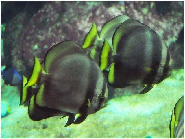 Nama Ikan Hias Air Laut