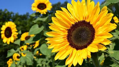 Tem Na Web - Dicas de Plantio de Girassol entenda sobre sua beleza e beneficios