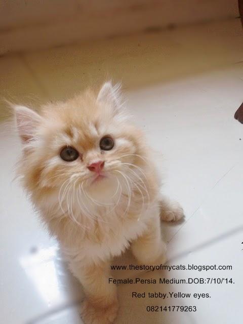 jual kucing betina daerah surabaya - sidoarjo