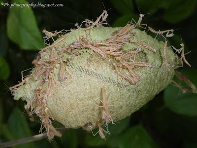 Praying Mantis Hatching Picture