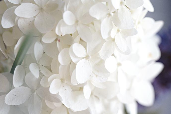 Gartenstrauß  | Hortensien Closeup