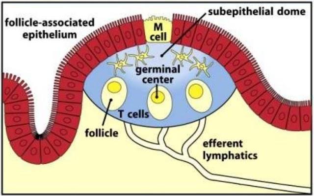 Définition du tissu lymphoïde annexé aux muqueuses en Immunologie