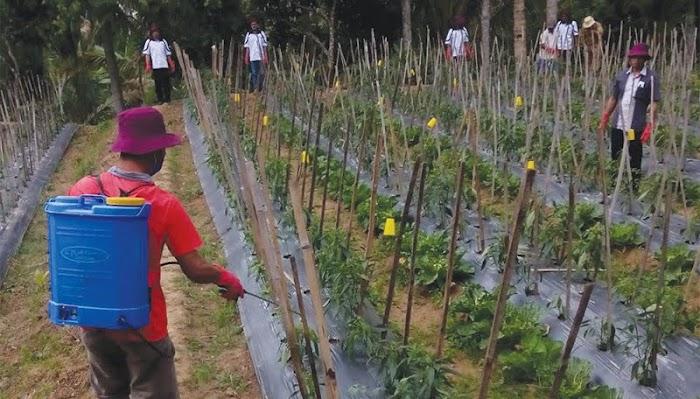 Pertahankan Surplus Cabai, Dinas Tanaman Pangan dan Hortikultura Lampung Latih Petani Kendalikan Hama