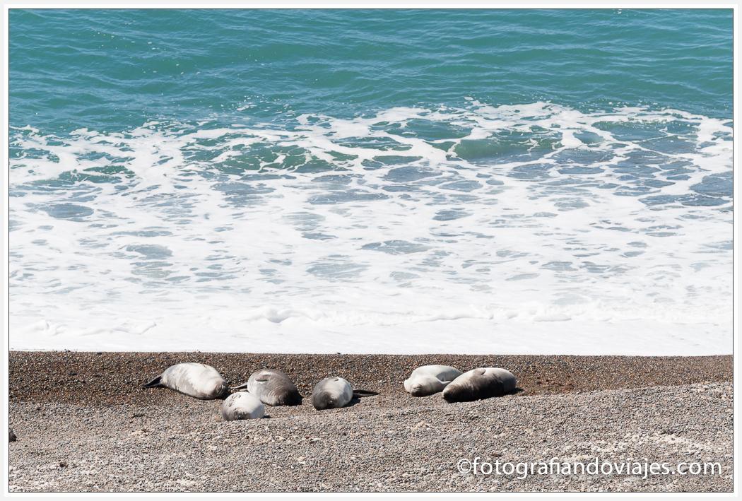 Lobos marinos en Península Valdés
