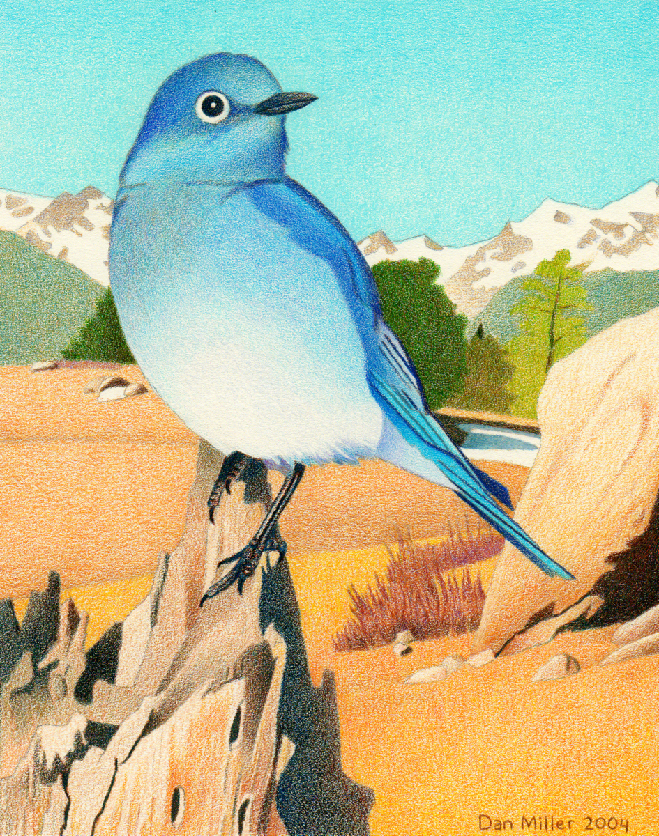 impression evergreen mountain bluebird colored pencil drawing