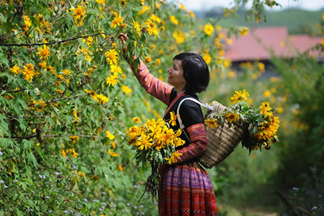 Northwest Vietnam attracts visitors by the beauty of wild sunflower or Tithonia diversifolia flowers 3
