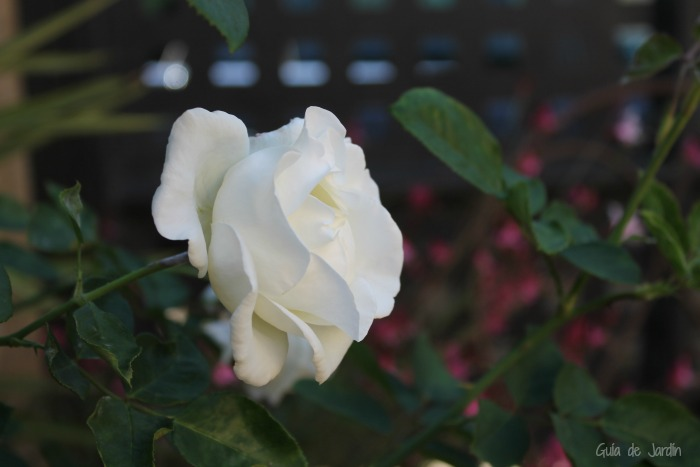Rosa blanca, Alba García