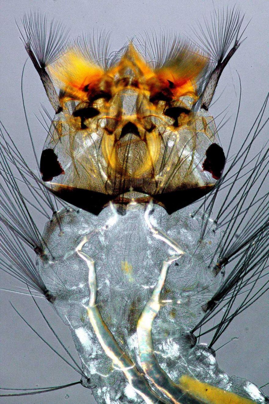 2016 Nikon Macro Photo Contest Winners Show The World Like You've Never Seen Before - Mosquito Larva
