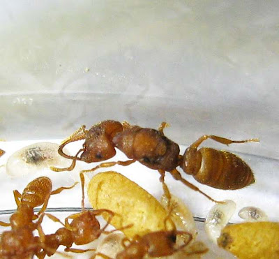 Queen of Mystrium ant