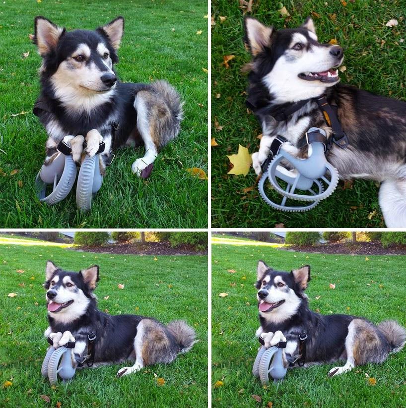 prótesis para perro hecha con avanzada tecnología impresora 3D