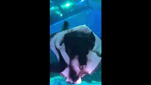 日本の水族館でエイが水槽内のイカを捕食