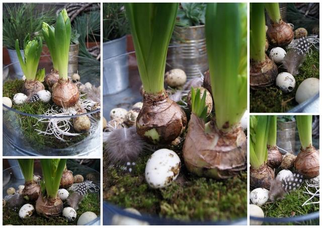 Frühlingsboten Hyazinthen in der Glasschale