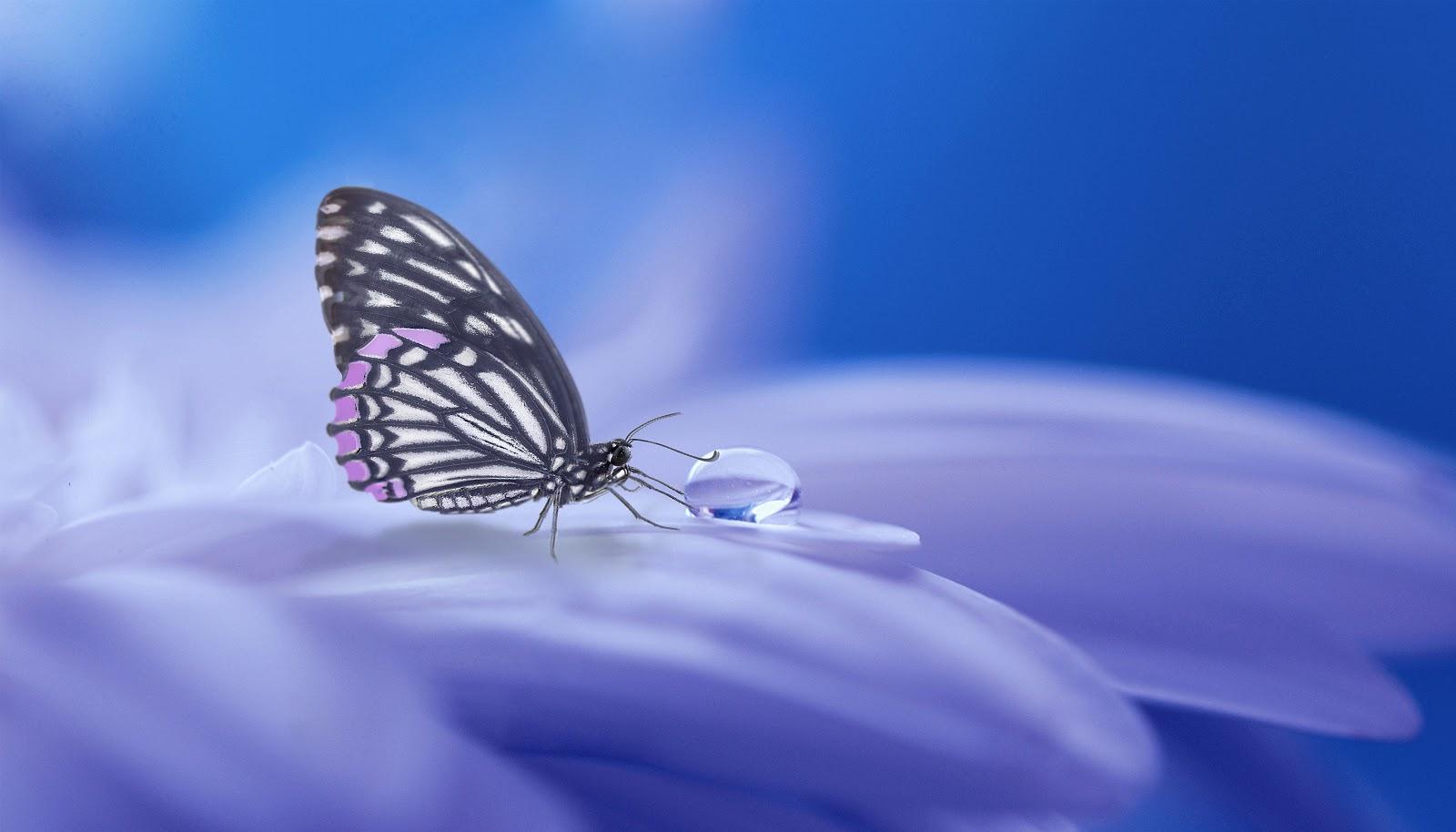 薄紫の花びらに留待って水滴を吸っている一匹の蝶