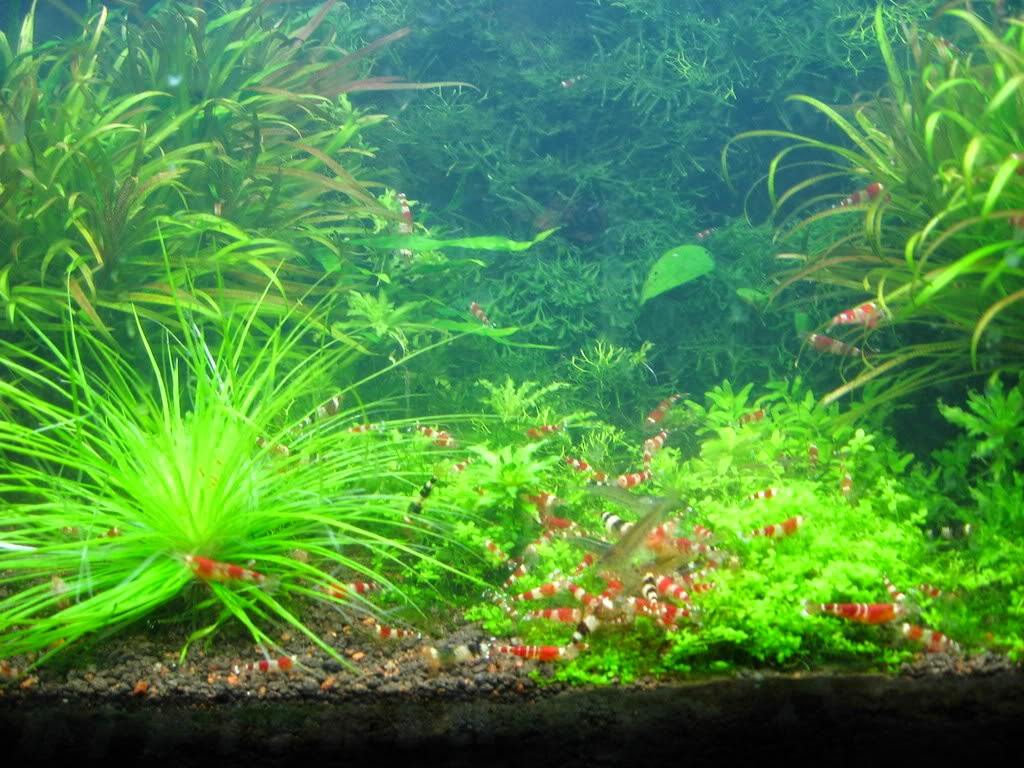 Crystal Red Shrimp tank aquascape