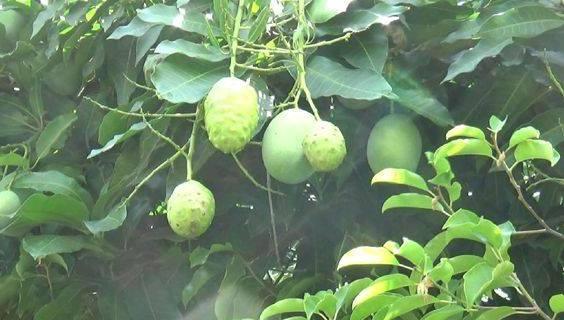 pohon mangga berbuah mengkudu