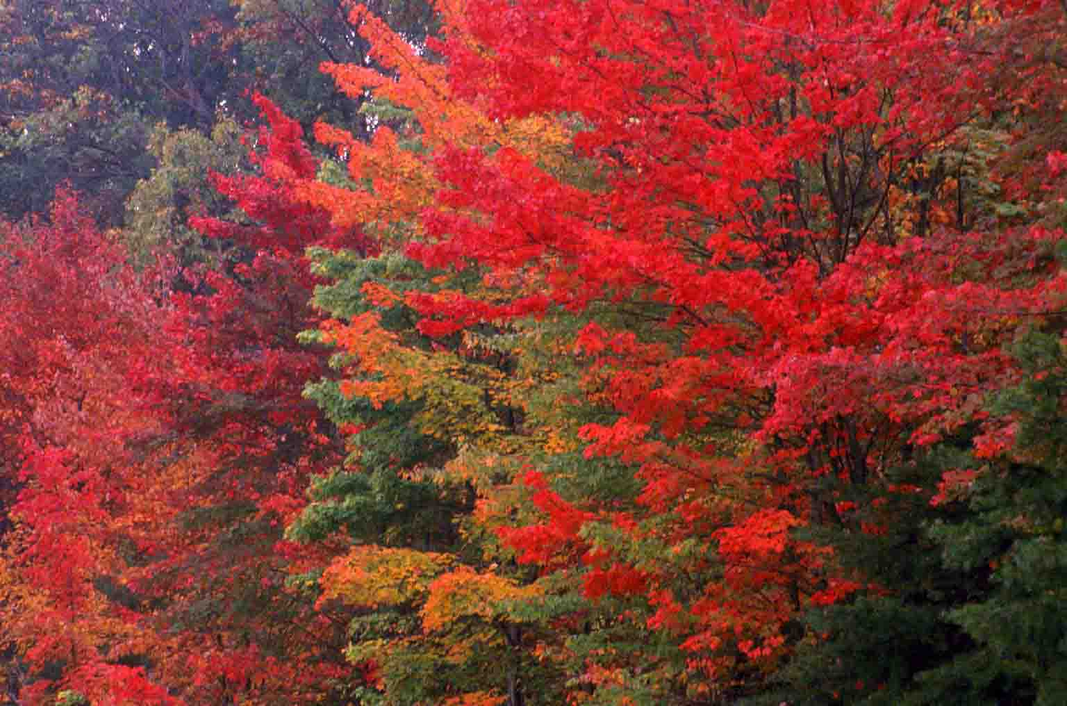 Fall Colors Wallpaper New England Kentucky Native Plant And Wildlife The Changing Of The