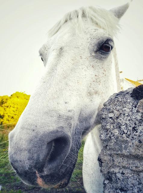 connemara pony  portrait