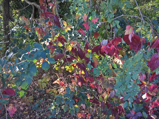 Parthenocissus quinquefolia autunno