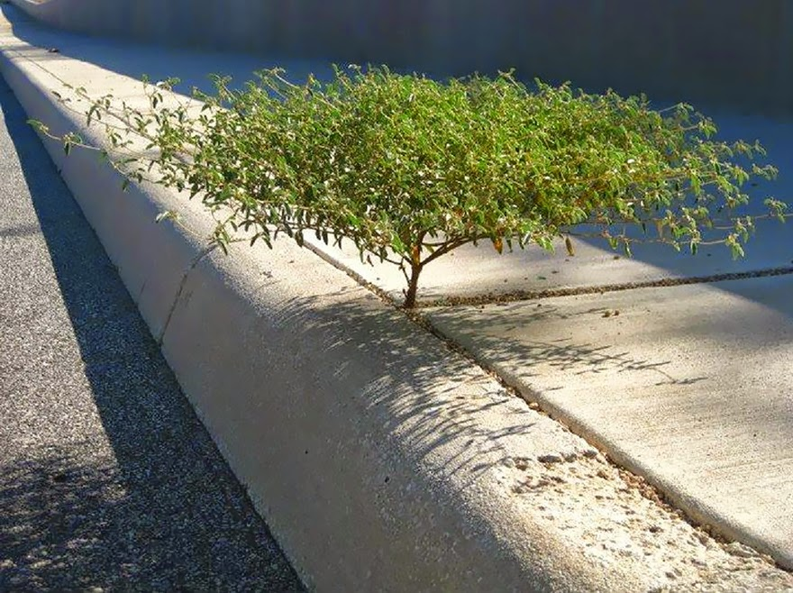 Is it just me or does this little weed growing from the sidewalk look like a miniature version of a tree you'd find out in Africa? - Life Finds A Way. 25 Plants That Just Won't Give Up