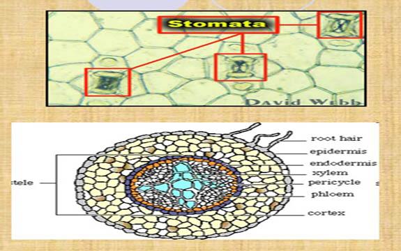 Struktur dan Fungsi Jaringan Pada Tumbuhan Beserta Contoh Gambar Lengkap