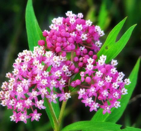 Asclepias incarnata - Swamp Milkweed Rose