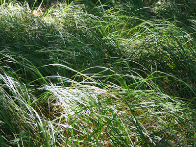 Santa Barbara sedge