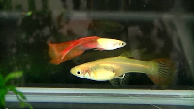 Gambar Ikan Guppy Scarf Tail / Flag Tail
