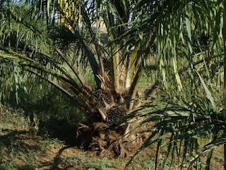 Η παραγωγή φοινικέλαιου οδηγεί σε εξαφάνιση είδη που απειλούνται με εξαφάνιση
