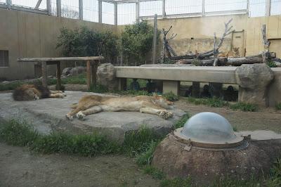 石の上に寝るライオン