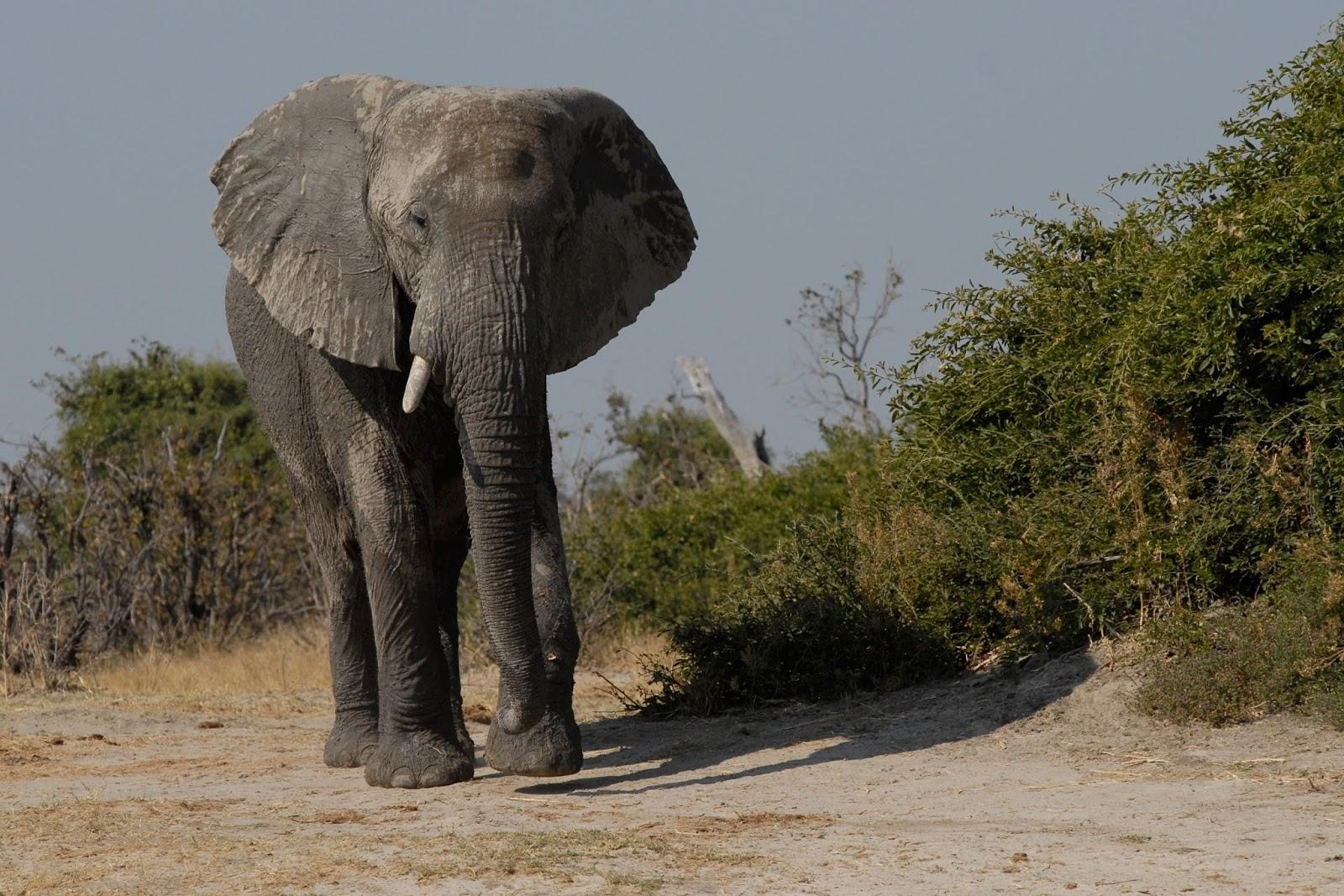 A boy elephant.