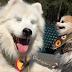 Un perro ciego tiene su propio lazarillo