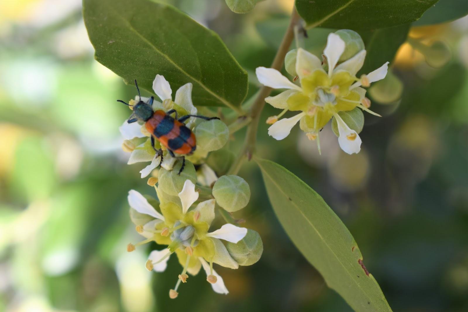 Fernando ruz plantas nativas de chile quillay k llay for Planta de chile
