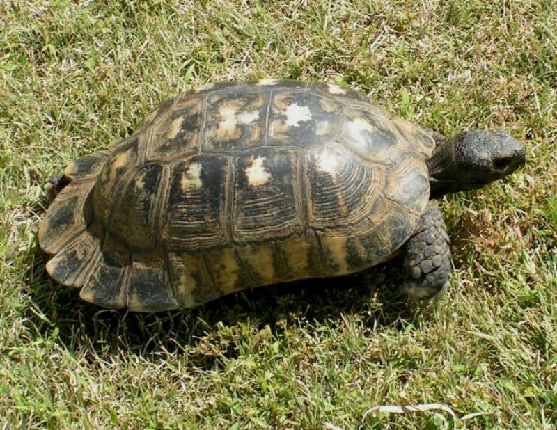 Pet Tortoise Types The...