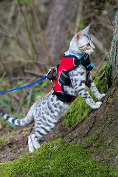 Another Tough Savannah Cat With The Jacket