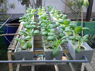 Sayuran Hidroponik Kailan
