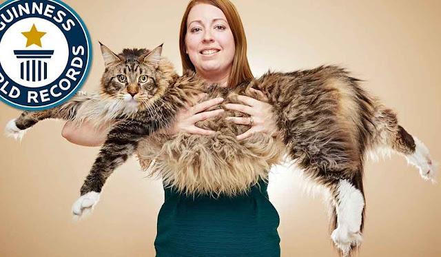اكبر القطط,اكبر القطط في العالم,اكبر القطط حجما,أكبر القطط الأليفة,اكبر القطط بالعالم,اكبر القطط حول العالم,اكبر انواع القطط في العالم