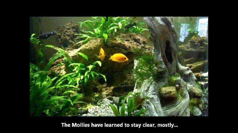 jenis ikan hias air tawar dan harganya