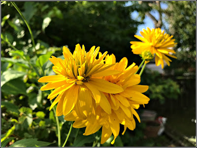 July 30, 2018 - Walking in my garden and finding happiness in yellow
