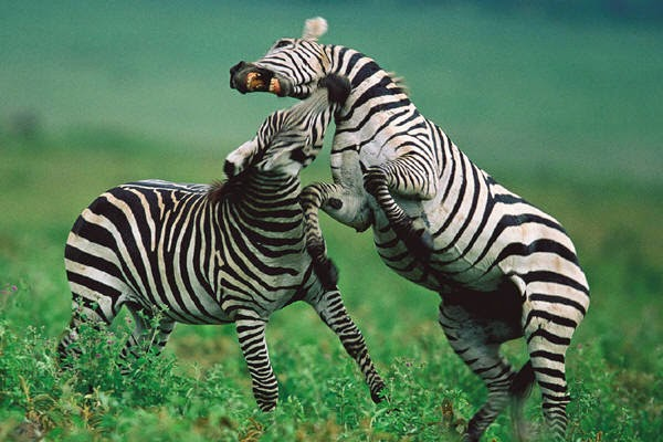 zebras2 East Africa Safari in style, Adventures with a difference!