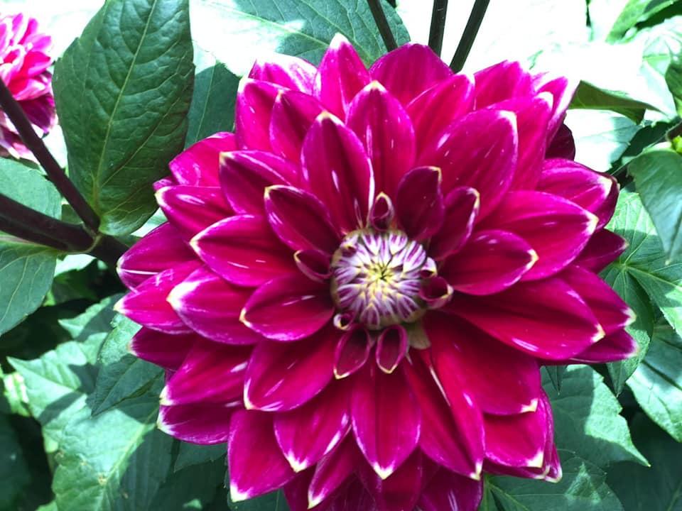 Ww Keindahan Bunga Dahlia
