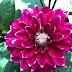WW : Keindahan Bunga Dahlia