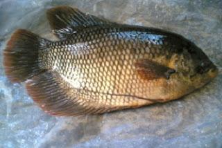 cara budidaya ikan patin di kolam terpal