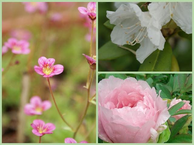 Steinbrech-Pfingstrose-Rhododendron