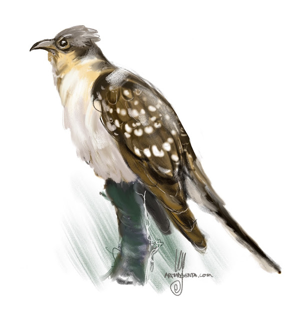 Great Spotted Cuckoo bird painting by Ulf Artmagenta