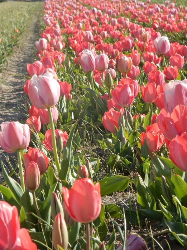 La pointe de la Torche au printemps fête des fleurs jacinthe tulipe
