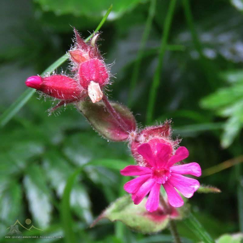 Bniec czerwony, lepnica czerwona, lepnica dwupienna (Melandrium rubrum Garcke)
