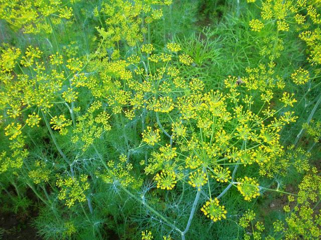Hoa Thìa Là (Thì Là) - Anethum graveolens - Nguyên liệu làm thuốc Chữa Bệnh Tiêu Hóa