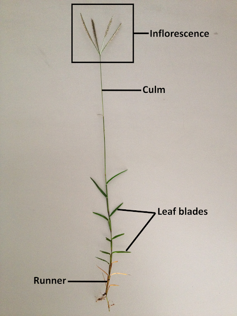 Figure 13. Bermuda grass and its distinctive parts (own photo, modified)